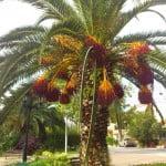Nea Potidea Zentrum, schöne Palmen