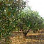 Olivenhain Nea Potidea